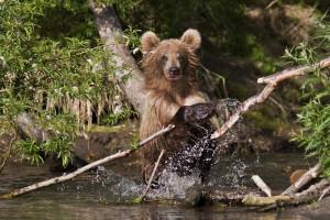 Braunbär beim Fischen