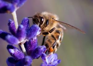 Biene Genpollen Imker