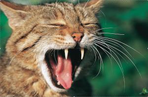 Wildkatzenzähne
