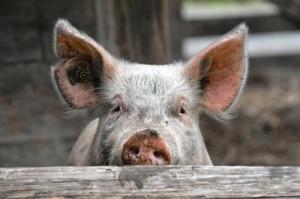 Sau Schwein