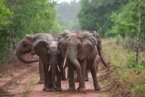 Elefanten Elfenbein