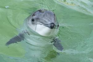 Schweinswal im Becken im Ecomare