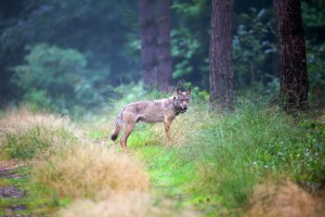 160426-nabu-wolf-mt6-juergen-borris-pressefoto-2